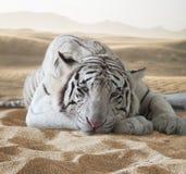 Tigre Stockbilder