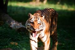 Tigre 1 foto de stock royalty free