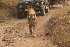 Tigre Fotografie Stock Libere da Diritti