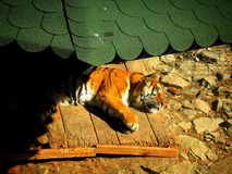 Tigre Photos libres de droits