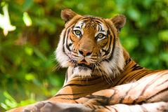 Tigre Photos stock