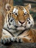 Tigre Imagem de Stock