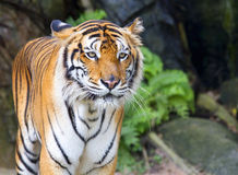 Tigre Photo libre de droits