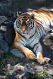 Tigre. Fotografía de archivo