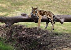 Tigre Fotografía de archivo libre de regalías