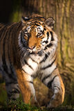 Tigre Foto de Stock Royalty Free