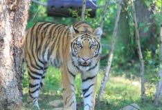 Tigre Foto de archivo libre de regalías