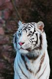 Tigre. Fotografia de Stock