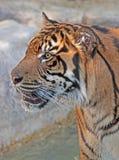Tigre Fotos de Stock Royalty Free