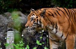 Tigre Photos stock