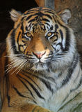 Tigre photo stock