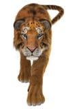 Tigre Foto de Stock Royalty Free
