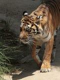 Tigre Foto de Stock