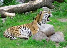 Tigre. Imagen de archivo libre de regalías