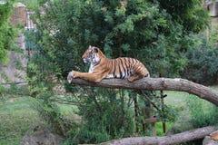 Tigre Fotos de archivo