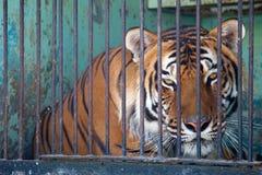 Tigre Imagen de archivo libre de regalías