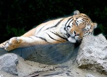 Tigre 7 d'Amur photo stock