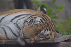 Tigre Fotografia de Stock