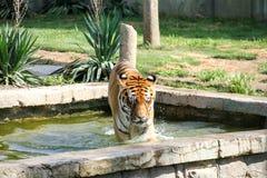 Tigre Image stock