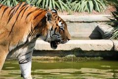 Tigre Images libres de droits