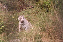 Tigre Fotografia Stock