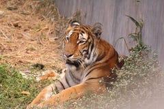 Tigre fotografie stock