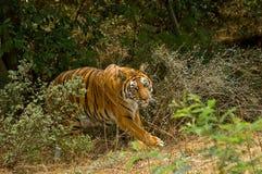 Tigre Immagine Stock Libera da Diritti
