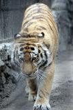 Tigre Photographie stock