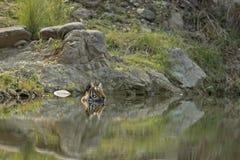 Tigre Fotos de Stock