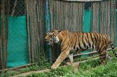 Tigre Fotografia Stock Libera da Diritti