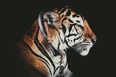 Tigre abstrait de portrait de visage latéral Photographie stock