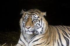 Tigre accovacciantesi Fotografie Stock