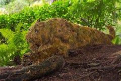 Tigre accovacciantesi, giardini di Butchart, Victoria, Canada Fotografie Stock