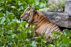 Tigre in acqua immagini stock