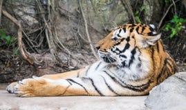 Tigre addormentata Immagini Stock Libere da Diritti