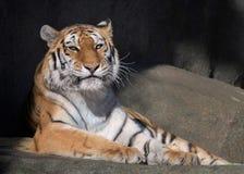 Tigre adulta femminile dell'Amur Fotografie Stock Libere da Diritti