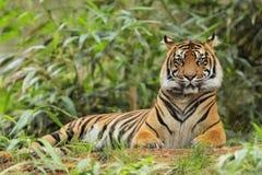 Tigre adulte se situant dans l'herbe grande Photographie stock libre de droits