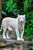 Tigre adulto del blanco de Bengala Imagen de archivo libre de regalías