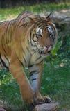 tigre adulto solamente en el primer del parque zoológico en verano en el color que se coloca que camina del frente foto de archivo