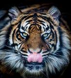 Tigre affamata Fotografia Stock Libera da Diritti