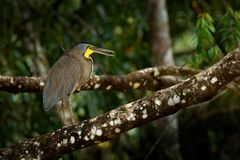 Tigre-airone Nudo-throated, mexicanum di Tigrisoma, in vegetazione di verde della natura Uccello acquatico dalla giungla tropical immagini stock