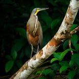 Tigre-airone Nudo-throated, mexicanum di Tigrisoma, in vegetazione di verde della natura Uccello acquatico dalla giungla tropical fotografia stock