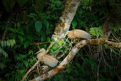 Tigre-airone Nudo-throated, mexicanum di Tigrisoma, in vegetazione di verde della natura Uccello acquatico dalla giungla tropical immagine stock