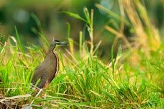 Tigre-airone Nudo-throated, mexicanum di Tigrisoma, in vegetazione di verde della natura Uccello acquatico dalla giungla tropical immagini stock libere da diritti