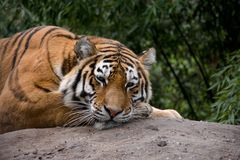Tigre alaranjado bonito que encontra-se na pedra e que olha fixamente profundamente Fotos de Stock