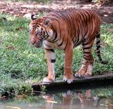 Tigre ambulante Fotografie Stock