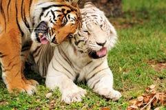 Tigre, amor de la acromatopsia Fotos de archivo