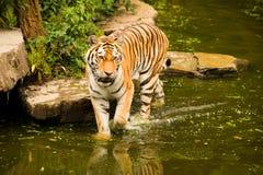 Tigre appollaiata Fotografia Stock