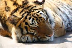 Tigre arancione che dorme al sole fotografia stock libera da diritti
