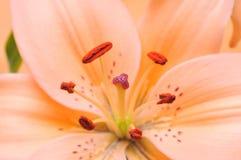 Tigre arancione Lilly Fotografia Stock